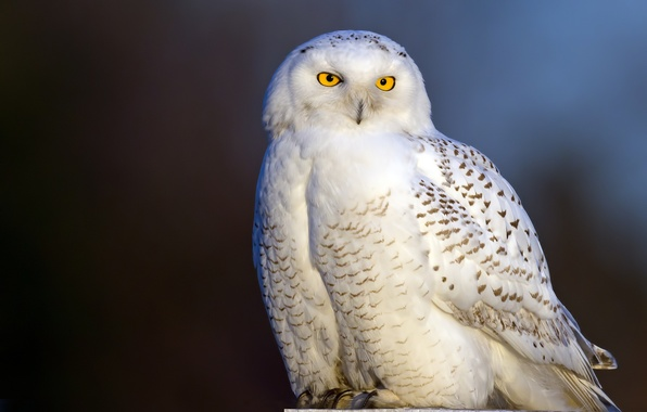 Picture bird, snowy owl, white owl