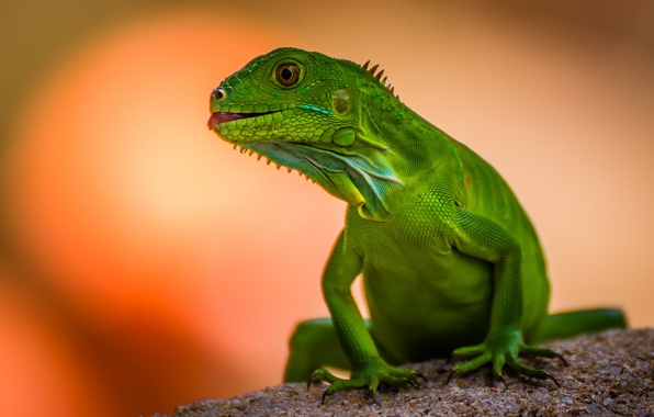Picture background, lizard, green