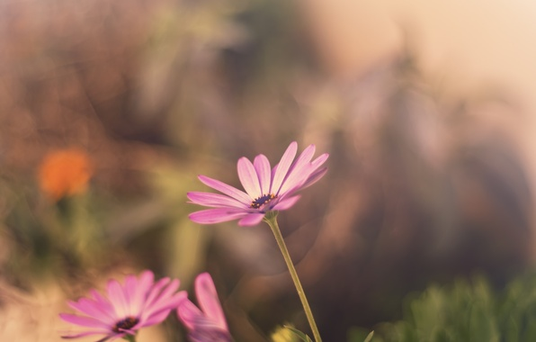 Picture flower, flowers, background, pink, widescreen, Wallpaper, blur, wallpaper, flowers, flower, widescreen, background, full screen, HD …