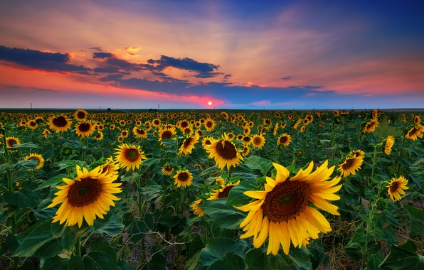 Picture field, summer, sunflowers, sunset, USA, Denver
