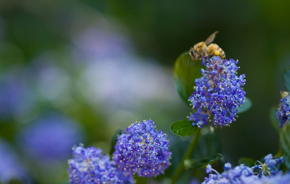 Picture greens, flower, macro, blue, nature, bee, blue, plants, blur, insect, flowers