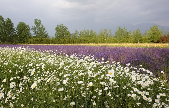 Picture field, summer, trees, flowers, mountains, Maki, chamomile, the horizon