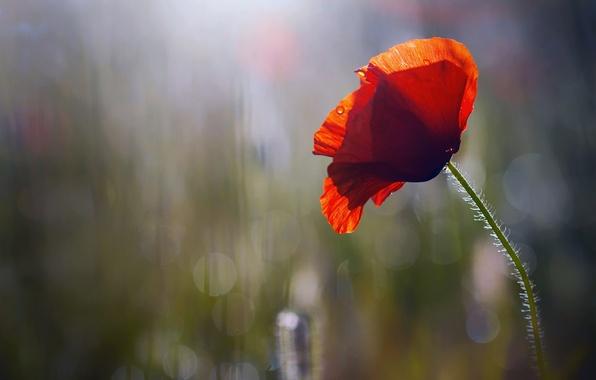 Picture flower, drops, Rosa, Mac, morning, bokeh