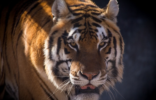 Picture cat, look, face, tiger, shadow, Amur