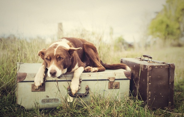 Picture grass, dog, Luggage, suitcases