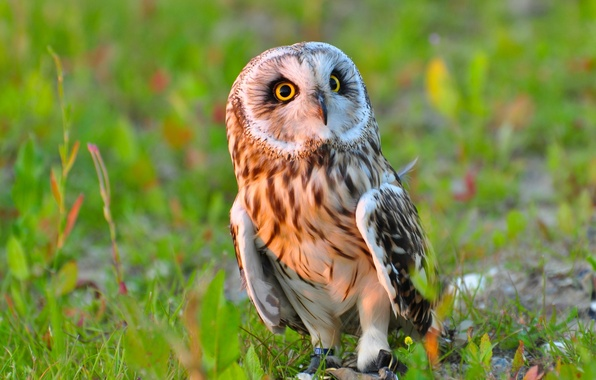Picture owl, bird, Short-eared owl