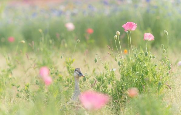 Picture field, grass, flowers, Maki, pink, duck