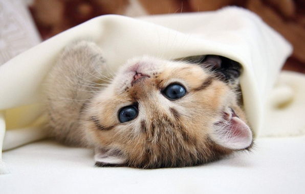 Picture cat, eyes, cat, kitty, lies, blue eyes, kitty, friendly, cat