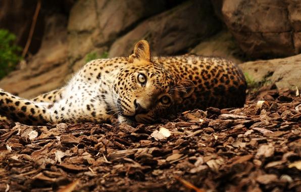 Picture look, leaves, stones, leopard, lies