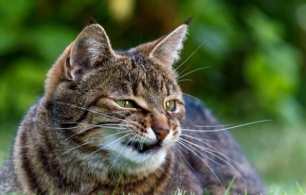 Picture greens, cat, grass, cat, mustache, face, fangs, evil, striped