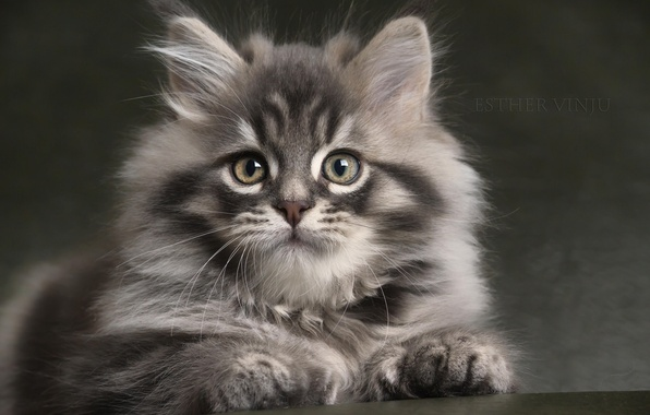 Picture look, grey, fluffy, baby, kitty