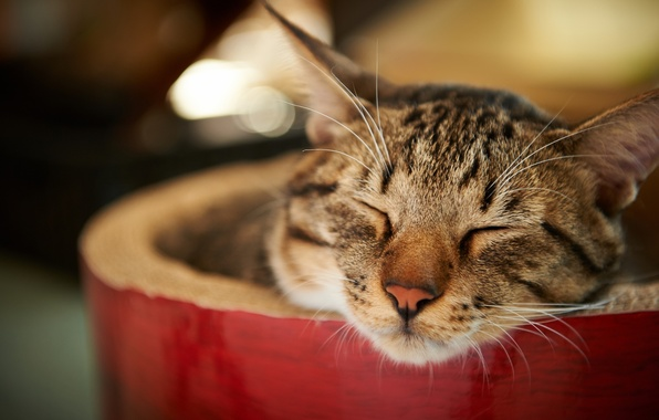 Picture cat, cat, face, sleeping, striped