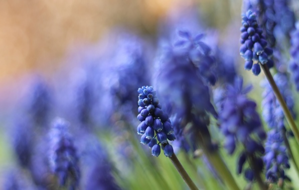 Picture macro, flowers, nature, blue, Muscari