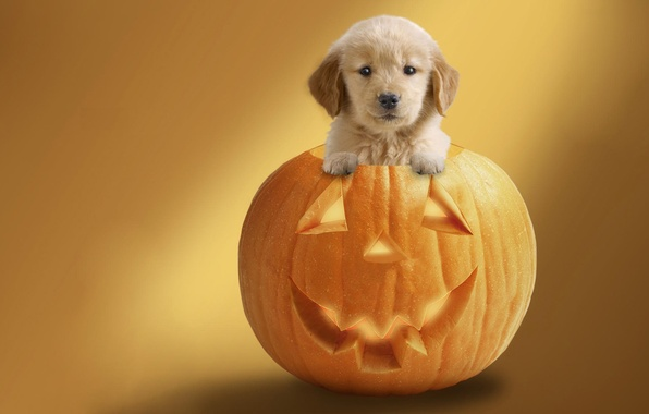 Picture background, holiday, dog, pumpkin, Halloween