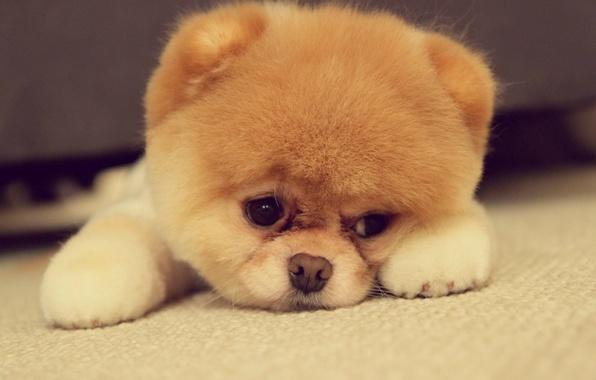 Picture muzzle, Puppy, lies, Akita inu