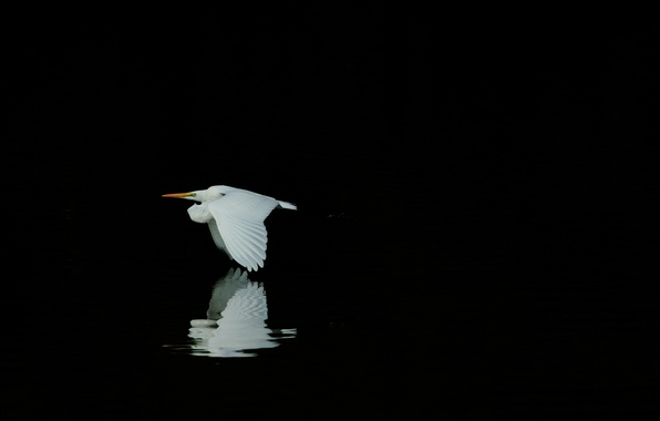 Picture reflection, bird, white, black background, Heron