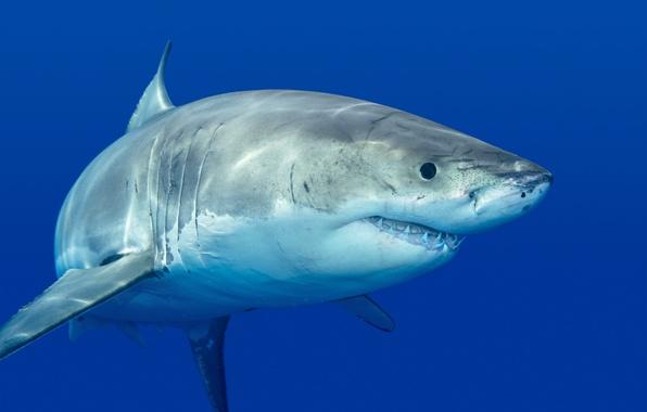Picture fish, predator, shark, white