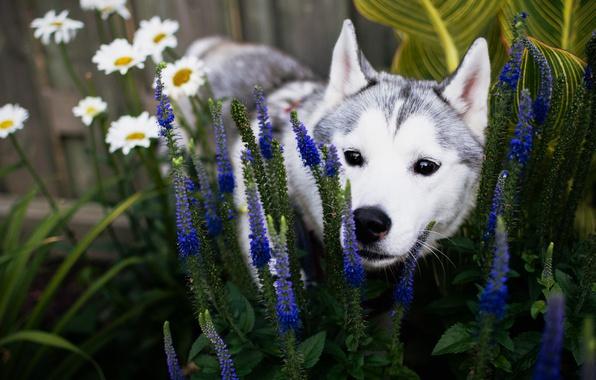 Picture summer, face, flowers, dog, garden, puppy, flowerbed, husky, breed, Siberian husky