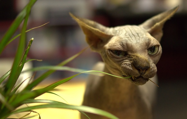 Picture cat, grass, eyes, cat, look, bald, Sphynx