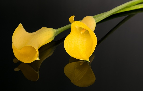 Picture the dark background, yellow, Calla lilies