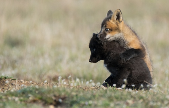 Picture Fox, a couple, cubs, cubs