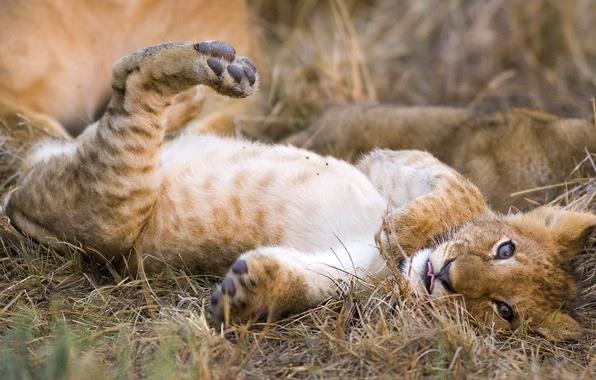 Picture cat, predator, Leo, lion