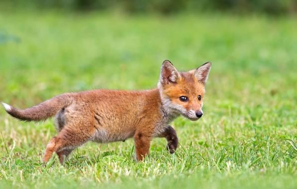 Picture grass, Fox, Fox, Fox