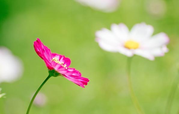Picture greens, flower, macro, pink, glade, spring, petals, blur, kosmeya