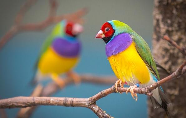 Picture branch, bird, colorful, Gulidova amadina