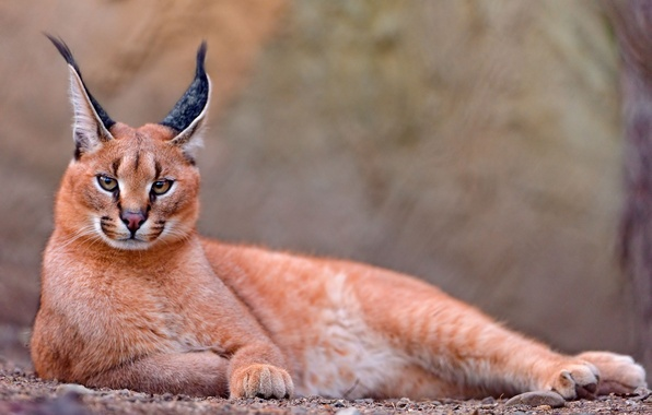 Picture Caracal, steppe lynx, caracal
