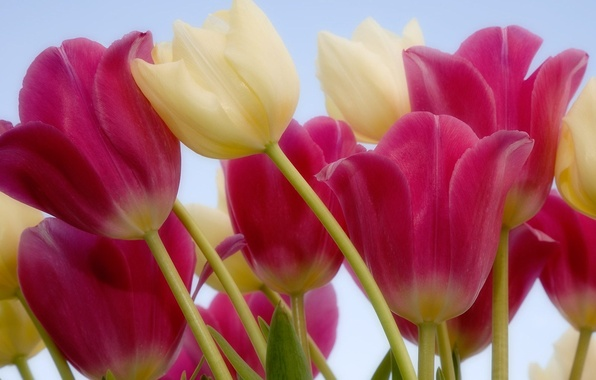 Picture flowers, stem, tulips, pink, white