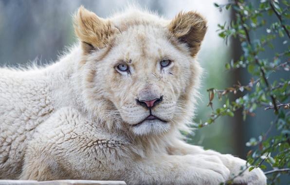 Picture cat, face, blue eyes, lion, white lion, ©Tambako The Jaguar