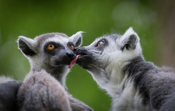 Picture love, lemurs, a couple, A ring-tailed lemur, Katta