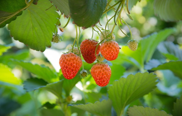 Picture leaves, strawberry, berry