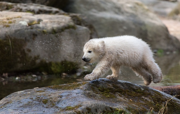 Picture white, squirt, wet, stone, bear