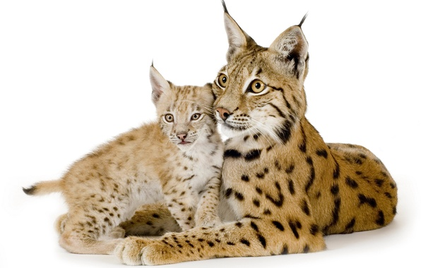 Picture cat, family, pair, white background, kitty, lynx