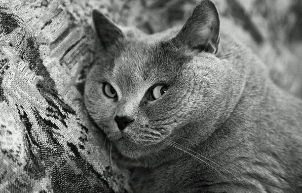 Picture black and white, Cat, muzzle, British Shorthair, breed
