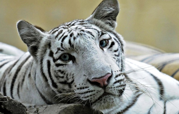 Picture cat, white, eyes, tiger, photo, Leo, blue, a cross between, ligr