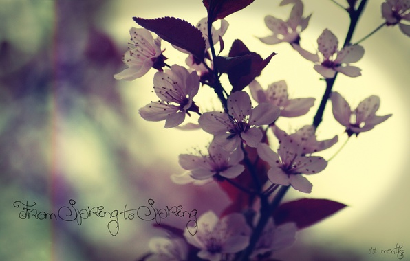 Picture macro, flowers, the inscription, spring, cherry or plum, from spring to spring