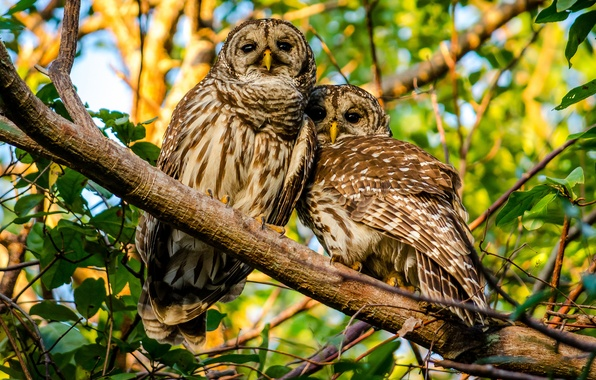 Picture birds, branch, owls, a couple, A barred owl