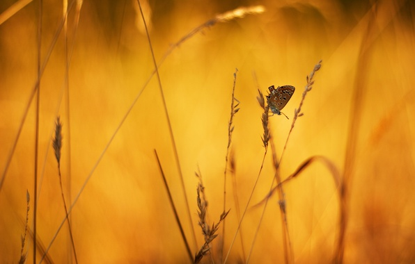 Picture macro, background, butterfly, spikelets, grass