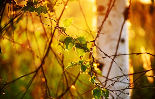 Picture leaves, light, nature, tree, branch, birch, bokeh