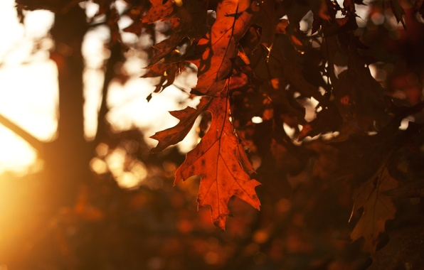 Picture autumn, the sky, leaves, the sun, rays, trees, sunset, Sheet, the evening, leafs, time of …