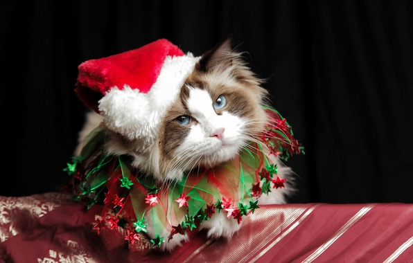 Picture christmas, cat, cute, costume