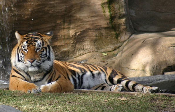 Picture animals, nature, tigers