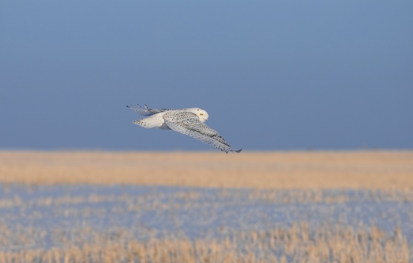 Picture cold, grass, flight, owl, bird, white, dry
