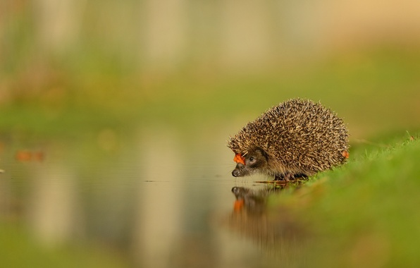 Picture NATURE, WATER, GREENS, REFLECTION, SURFACE, NOSE, MUZZLE, NEEDLES, HEDGEHOG