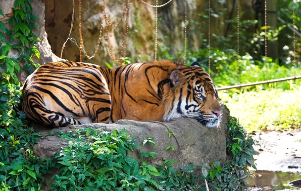 Picture cat, grass, tiger, stay, stone, Sumatran