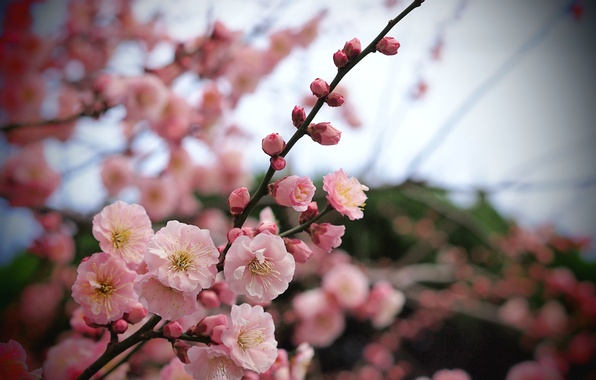 Picture macro, flowers, branch, Tree, petals, blur, pink, apricot, buds
