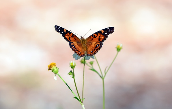 Picture stems, butterfly, wings, buds, antennae, wings, butterfly, bokeh, bokeh, buds, antennae, stalks, open wings, open …